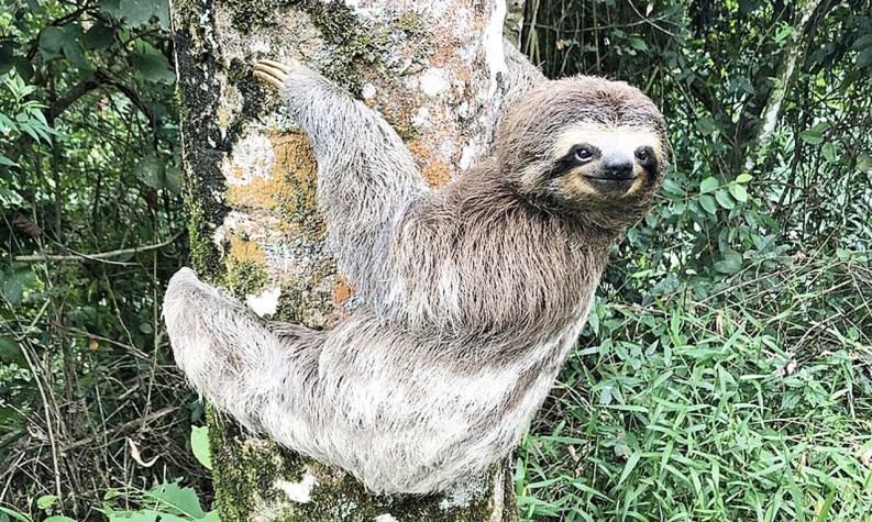 Bicho Preguiça preso a árvore [Foto: Wikimedia]